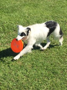 Dog with Frisby
